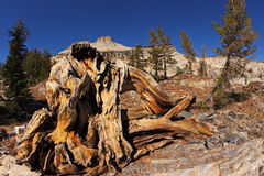 Picturesque stumps and snags Royalty Free Stock Photos
