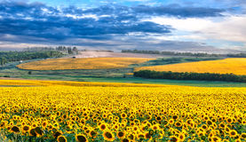 Picturesque sunflower field. With dramatic blue sky in the evening Stock Photo