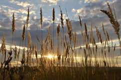 Picturesque sunset shining through the tall grass Royalty Free Stock Photo