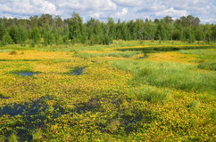 Picturesque swamp. Royalty Free Stock Photos