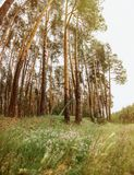 Picturesque tall pine trees in the forest with the summer colors Royalty Free Stock Image