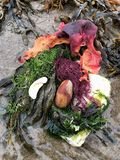Picturesque tidal beach find with colourful seaweed, kelp royalty free stock image