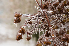 Picturesque tree branch covered with freezing rain Royalty Free Stock Photos