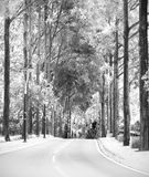 Picturesque tree lined road. A lonely treelined boulevard in monochrome royalty free stock image