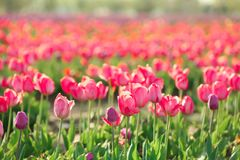 Picturesque view of field with blossoming tulips. On sunny spring day Royalty Free Stock Image