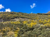 BRIGHT YELLOW WILD FLOWERS ON ANDES MOUNTAINS, EL CAJAS NATIONAL PARK Royalty Free Stock Images