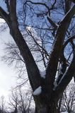 Snow Covered Oak Tree With a Blue Sky - Viewed from Below royalty free stock images