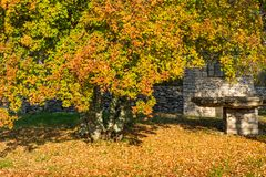 View of a traditional stone house and a colorful golden yellow tree in autumn in Istria region, Croatia, Europe royalty free stock photography