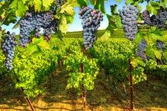 Grape plantation Napa valley Stock Photos
