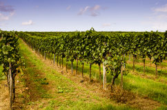 Picturesque vineyard Royalty Free Stock Photography
