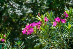 The picturesque violet flowers of oleander. Grow in the forest stock photography