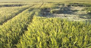Picturesque wheat field with bent stems by ground road. Picturesque wheat field with bent stems segments by ground road on sunny summer day upper view. Concept stock video footage