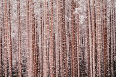 Picturesque winer forest. Fabulous snowy wonderland. Magic beautiful scenic view of pines trees covered with snow stock photography