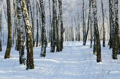 Picturesque winter birch grove in hoarfrost. The picturesque winter birch grove in a hoarfrost, the January landscape Stock Photography