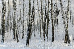 Picturesque winter birch grove in hoarfrost. The winter birch grove in hoarfrost, the picturesque landscape, beautiful view of the forest Stock Image