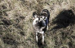 Pictus africano di Lycaon del cane selvaggio che esamina macchina fotografica fotografia stock libera da diritti