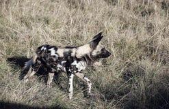 Pictus africano di Lycaon del cane selvaggio nel Sudafrica immagini stock