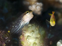 Pictus blenny. In Bohol sea, Phlippines Islands royalty free stock photo