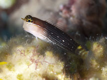 Pictus blenny Royalty Free Stock Photos