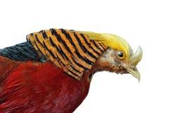 Pictus dourado do Faisão-Chrysolophus Imagens de Stock