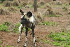Дикая собака покрашенная африканцем (pictus Lycaon) Стоковое фото RF