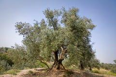从picual品种的橄榄树在哈恩省附近 免版税库存照片