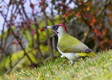 Picus viridis - Winter welcome. Picus viridis sits on a branch and poses, welcomes winter Stock Photos