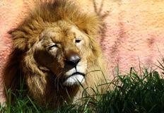 Śpiący Lew Fotografia Royalty Free