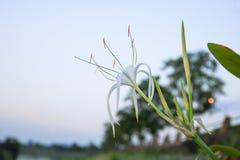 Pider Lily flower white in a garden  Crinum asiaticum. Pider Lily flower white in a garden.  Crinum asiaticum Royalty Free Stock Photo