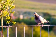 Pidgeon è sittin sul tetto del birdfeeder e dello sguardo intorno Fondo verde della natura con gli alberi fotografie stock libere da diritti