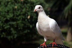 Pidgeon. White pidgeon portrait royalty free stock image