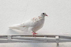 Pidgeon. A white pidgeon against a white wall royalty free stock photo