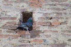 Pidgeon Стоковые Фото