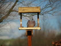 Pidgeon in a bird feeder Royalty Free Stock Image