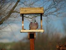 Pidgeon in a bird feeder Royalty Free Stock Image