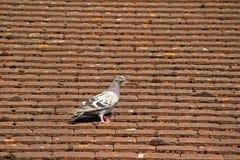 Pidgeon britannique commun sur des tuiles de toit Images libres de droits