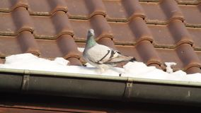 Pidgeon in de winter stock video