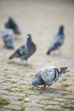 Pidgeon eating. From the ground Royalty Free Stock Images