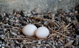 Pidgeon with eggs. Pidgeon with little eggs white stock image