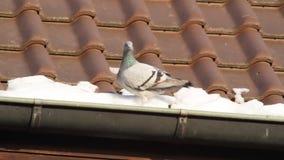 Pidgeon en invierno almacen de video
