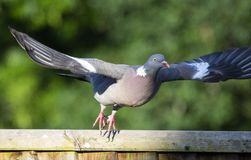 A Pidgeon in flight. With its wings fully spread royalty free stock photo