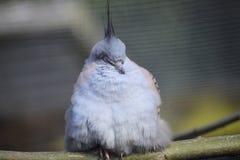 Pidgeon génial photos stock