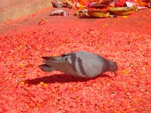 Pidgeon im Affe-Tempel Stockfotografie