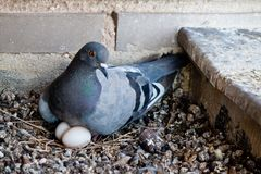 Pidgeon with eggs. Pidgeon with little eggs nest white stock photos