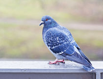 Pidgeon in London, England. A close up view of a pidgeon in London, England stock image
