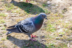 Pidgeon looking me. A pidgeon is looking me taking a foto royalty free stock photography