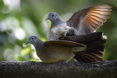 Pidgeon`s love. Pidgeon` love captured in a perfect moment stock photography