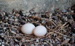 Pidgeon med ägg Fotografering för Bildbyråer