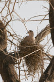 Pidgeon nesting in a tree. A pidgeon nests in a high tree in the desert royalty free stock image