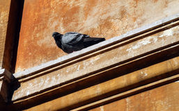 Pidgeon. In rome royalty free stock photos
